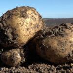 Nakon pisanja o mukama proizvođača ivanjičkog krompira usledio fenomenalan potez